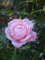 pink rose stock2 by DemoncherryStock