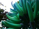 jade vine1 by izha