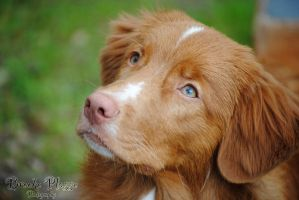 Toller Gaze by Plasse-Photography