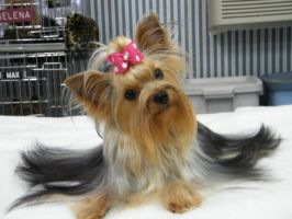 you taken a picture. by Show-us-Yorkies