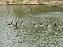 Geese on Pond by Ablebaker