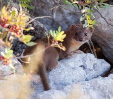Maltese weasel by Faunamelitensis