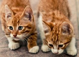 Double Kitten by can16358p