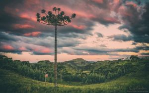 Araucaria in the Sky by Miguel-Santos