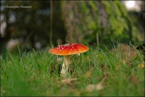 Amanita muscaria by squareprismish