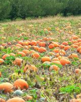 Pumpkin Patch 2 by JewelsStock