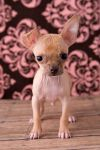 Chihuahua 1 by deathbycanon-stock