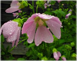 Wet pink beauty by DanaAnderson