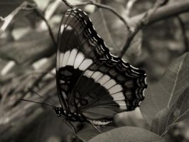 Black and White Admiral by Smithx7000