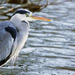 Frosty Heron by aajohan