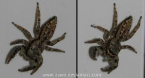 jumping spider by oswo