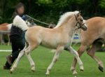 Haflinger Foal Trotting by Jello88