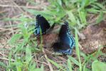 'Astyanax' Red-spotted Purple by freespiritmissy