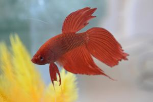 Betta Fish by BS4711
