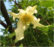 White Clematis 1 by Kattvinge