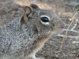 Common Rock Squirrel by QuantumMirage