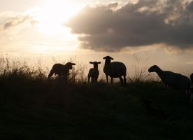 Sheep in the sunset by Inilein