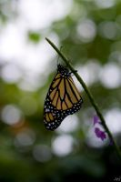 Monarch I by MillerTime30