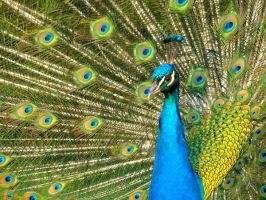 Stock 290: peacock closeup by AlzirrSwanheartStock