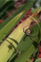 garden spider by neaters2000