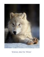 Young  Arctic Wolf by Pauken1