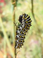 Black Swallowtail Caterpillar by Squirrelflight-77