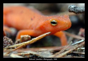Eastern Newt by esphotoz