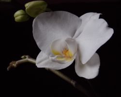 White Orchid by Satorstar