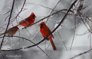 Reds in the snow by McOwenPhoto