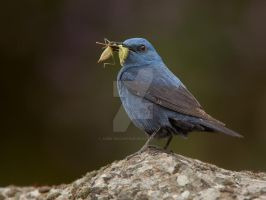 A blue day -  Blue Rock Thrush by Jamie-MacArthur