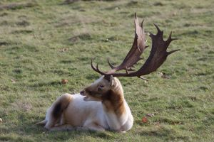 Knole Park Stag by rogerdurling