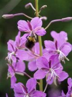 Bumblebee on Fireweed by s-ense