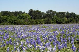 low view of bluebonnets by goodiebagstock