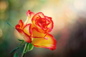 the autumn rose by Laura1995