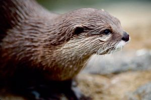 Asian Otter 5 by Art-Photo