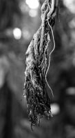 Suspended ficus roots by ChaoticLandscape