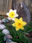 Spring Daffodil 3 by harperking