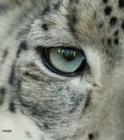 Snow Leopard Eye by Mararda