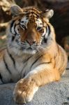Sleepy tiger by Fohat
