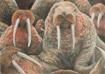Walrus Drawing by Susannah26