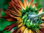 SunFlower Detail by andras120