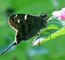 Long-Tailed Skipper by beverly546
