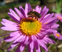 Hornet on purple daisy by sidneyj06