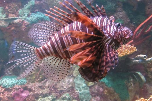 Lionfish by ArtemisIceheartt