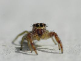 Salticidae, very tiny by duggiehoo