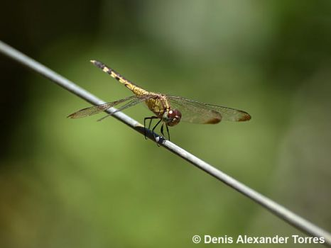 Dragonfly by torreoso