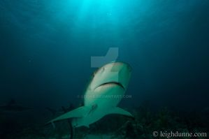 Bahamas Sharks 1 by leighd