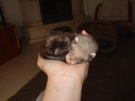 Baby Ferret by cougermiau