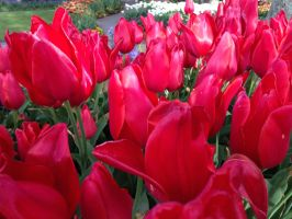 Tulip Time 2014 Pic 26 by rjrgmc28