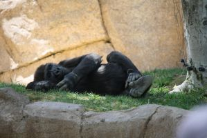 Gorilla 2 by destinysWalrus